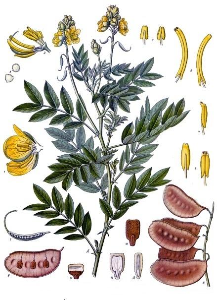 Senna_alexandrina_-_Köhler–s_Medizinal-Pflanzen-264